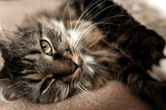 Grå kattungekatt med den avrivna pälsbröstkorgen Arkivbilder