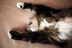 Grå kattungekatt med den avrivna pälsbröstkorgen Fotografering för Bildbyråer