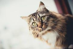 Grå kattungekatt med den avrivna pälsbröstkorgen Royaltyfria Bilder
