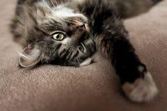 Grå kattungekatt med den avrivna pälsbröstkorgen Arkivfoton