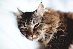 Grå kattungekatt med den avrivna vita bröstkorgen för päls på vit Royaltyfria Foton