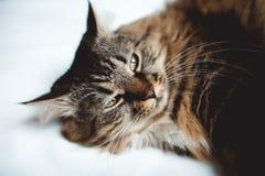 Grå kattungekatt med den avrivna vita bröstkorgen för päls på vit Fotografering för Bildbyråer