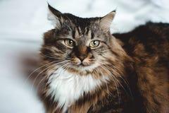 Grå kattungekatt med den avrivna vita bröstkorgen för päls på vit Royaltyfri Fotografi