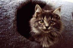 grå kattungelekstuga Royaltyfri Fotografi