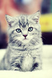 Grå kattungesitting Royaltyfri Foto