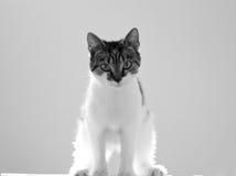 grå kattungewhite Royaltyfria Bilder