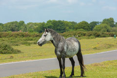 Grå lös ponny nya Forest Hampshire England UK royaltyfria bilder