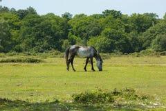 Grå lös ponny nya Forest Hampshire England UK arkivfoto