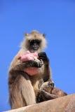 Grå langur (den Semnopithecus dussumierien) med en behandla som ett barn som äter på Ran Arkivfoton