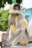 Grå langur, monkey5 arkivfoton