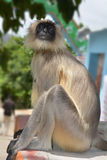 Grå langur, monkey4 royaltyfria foton
