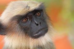 Grå langur, monkey3 Arkivfoto