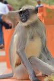 Grå langur, monkey1 arkivfoton