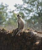 Grå langur som sitter på stenväggen Royaltyfri Bild