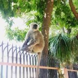 Grå langurapa på staketet i Rishikesh Royaltyfria Foton
