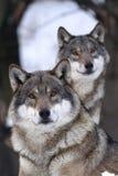 grå lupuswolf för canis Royaltyfri Foto