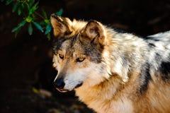 grå mexikansk wolf Fotografering för Bildbyråer