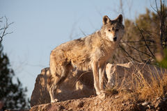 grå mexikansk wolf arkivfoto