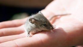 grå mus Royaltyfri Bild