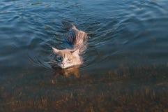 Grå mustaschkatt som svävar på floden Arkivfoto