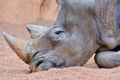 Grå noshörning som ligger på sand Fotografering för Bildbyråer