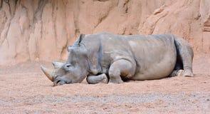 Grå noshörning som ligger på sand Royaltyfri Fotografi
