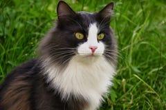Grå och vit katt - аjägare. Arkivfoto
