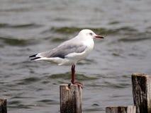 Grå och vit seagull på sjön Arkivbilder