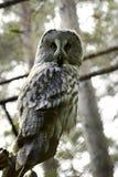 grå owl royaltyfria foton
