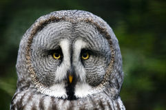 grå owlsiberian Royaltyfri Bild