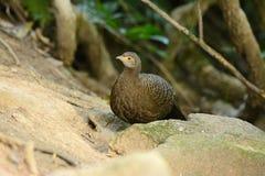 Grå påfågel-fasan för kvinnlig Fotografering för Bildbyråer