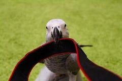 grå papegoja Royaltyfria Foton