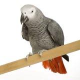 grå papegojapsittacus för afrikansk erithacus Fotografering för Bildbyråer