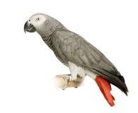 grå papegojapsittacus för afrikansk erithacus Royaltyfria Bilder