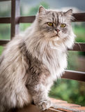 Grå persisk katt Arkivbilder