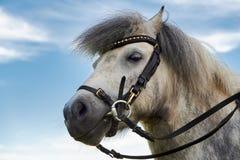 Grå ponnyhäst royaltyfri fotografi