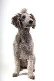 grå poodle Arkivfoton