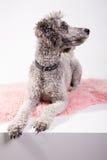 grå poodle Royaltyfria Bilder