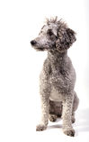 grå poodle Royaltyfri Fotografi