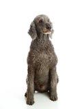 grå poodlenormal royaltyfri fotografi