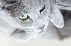 Grå pussykatt royaltyfri foto