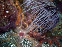 Grå Rör-boning anemon som omges av färgrika taggiga bräckliga stjärnor Royaltyfri Foto