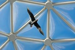 Grå seagull fotografering för bildbyråer