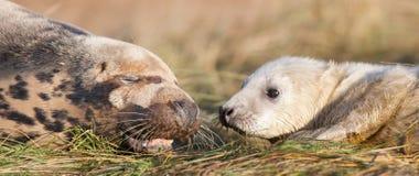 Grå sealpup med modern Arkivfoto