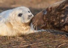 Grå sealpup med modern Royaltyfria Foton