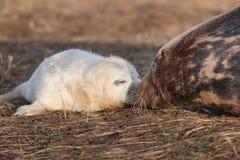Grå sealpup med modern Royaltyfri Bild