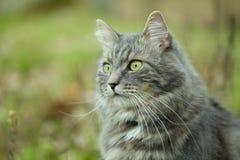Grå siberian katt i skog Royaltyfri Fotografi