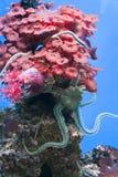 Grå sjöstjärna på rosa korall Arkivbilder
