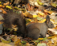 grå squirell Royaltyfri Foto