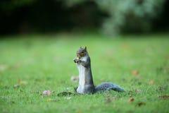grå squirell Royaltyfria Bilder